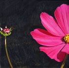 Pink Cosmos and bud